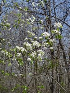 Bradford Pear in bloom.