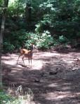 Deer in Percy Warner Park