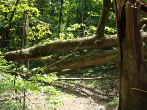 Trees blocking path in Percy Warner Park